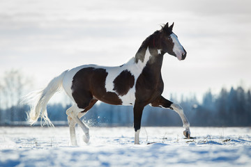 Beautiful horse trot in the snow in field in winter