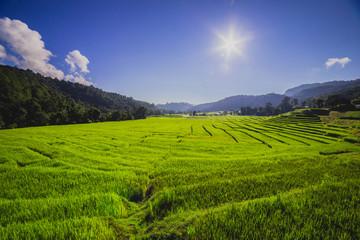 Rice field with sun