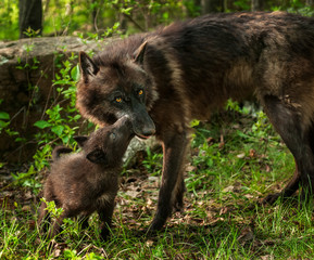 Black Wolf Pup (Canis lupus) Lick's Mother Mouth