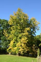 Large chestnut tree