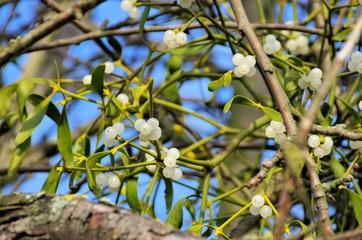 Mistel - mistletoe 26