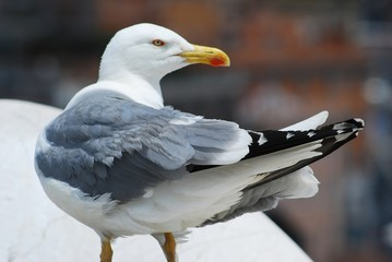 Seagull on the Rome city roof