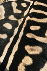 Black and white color on the back of  Zebra