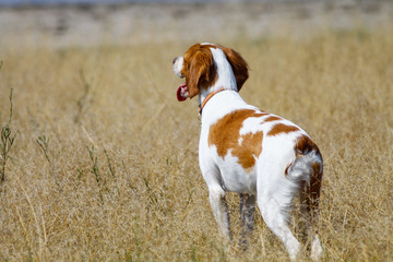 Brittany spaniel, hunting dog on field