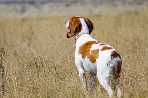 Brittany spaniel, hunting dog on field - 71232000