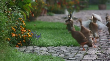 Indian Runner ducks on the way to the garden