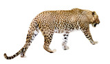 Walking leopard over white