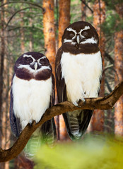 Owls couple  at  forest