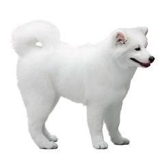 Fluffy white Samoyed dog