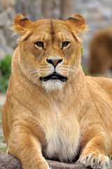 Close Up picture of a lion.