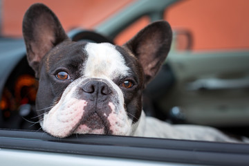 French bulldog inside the car
