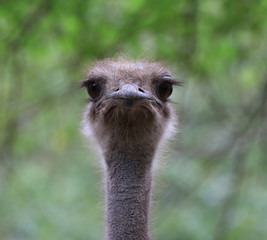 Ostrich head pops out from behind a fence.