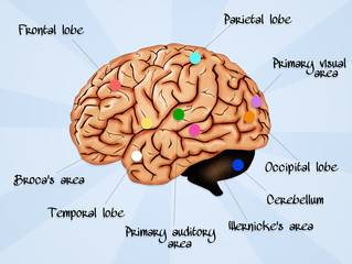 Brain Lobe Sections