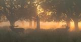 Red Deer Stags Bellowing