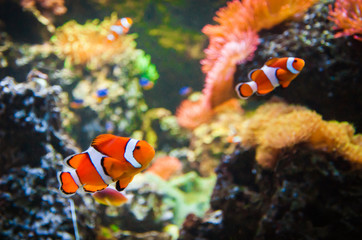 Clownfish in the water with corals