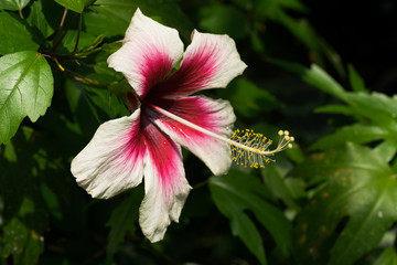 Tropical red and white bright flower hibiscus
