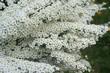 Obrazy na płótnie, fototapety, zdjęcia, fotoobrazy drukowane : Spiraea x cinerea Grefsheim
