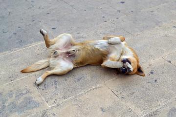 Cane sdraiato sulla schiena che gioca con la zampa.