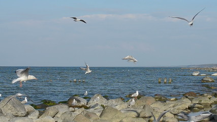 Flock of seagulls circling above the shore of Baltic sea
