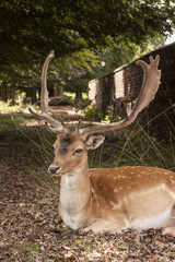 Suspicious fallow stag at Dunham Massey, Cheshire