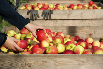 Hand puts an apple in a wooden crate of freshly picked apples
