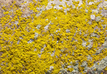Yellow lichens on stone closeup