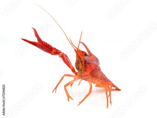 alive crayfish isolated on white background - 71246825