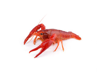 Shrimps Crayfish
