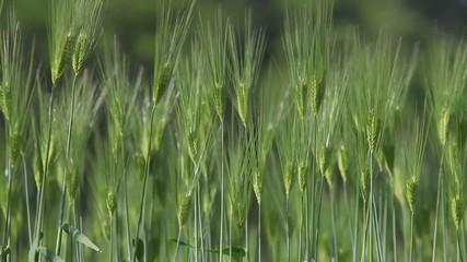 風に揺れる麦1