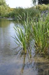 Aquatic Reed Grass