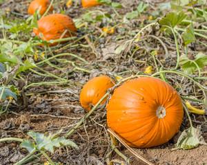Pumpkin vines and pumpkins