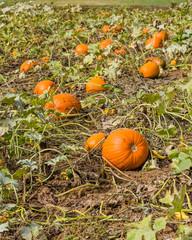 Orange pumpkins in a farm field
