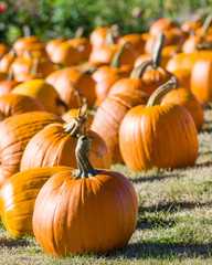 Halloween pumpkins in a rural field
