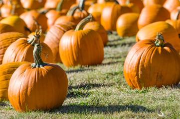 Field of orange pumpkins on grass