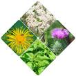 canvas print picture - Heilpflanzen