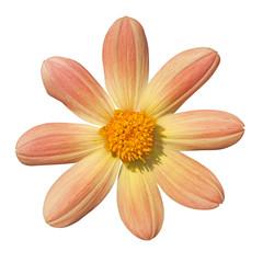 yellow dahlia on white background