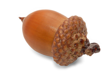 acorn on a white background
