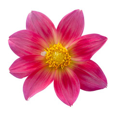Red dahlia on white background