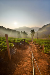 Strawberry farm in the morning at Doi Ang Khang, Chiang Mai, Tha