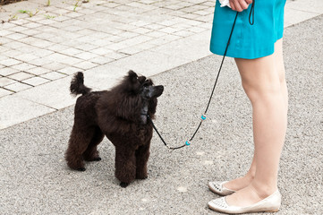 Black poodle in training
