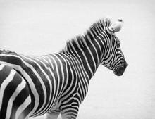 Black and white photo of zebra