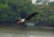 water bird stork flying wild at lake to catch fish