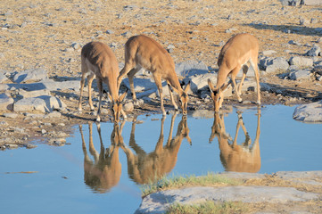 Young Impalas drinking