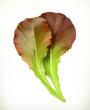 Lettuce leaves, vector illustration