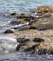 groups of molluscs and mussels on the rocks by the sea