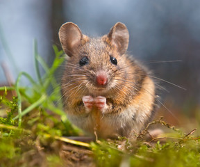 Cute Wood mouse sitting on its hind legs