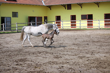 Lipizzaner foal running on farm