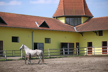 Lipizzaner mare and foal on ranch