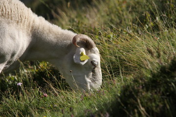 Mouton,Pyrénées