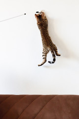 Cat playing and jump high on the wall